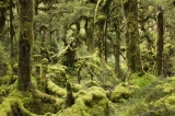 Beech forest, Spey River, Fiordland National Park, New Zealand