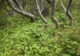 Birch forest, Thorsmork