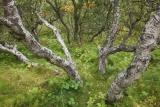 Birches, Thorsmork