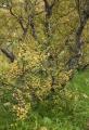 Autumn birch, Basar