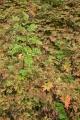 Rowan, ferns and herbs, Basar