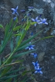 Nodding Blue Lily, Bindook