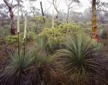 Flowering grasstrees, Kanangra Tops