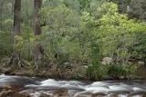 Flowering wattles, Kowmung River