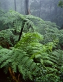 Tree ferns, Jamison Valley