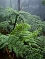 Tree ferns, Jamison Valley