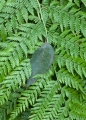 Blue Gum leaf and fern