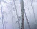 Misty oreades