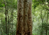 Mountain Blue Gum in rainforest