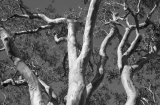 Scribbly Gum branches