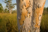 Cabbage gum, Nitmiluk National Park, NT