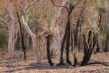 Dry season, after fire, Nitmiluk National Park, NT