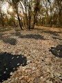 Leaf fall after fire, Nitmiluk National Park, NT