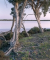 Salt Paperbarks, Pink Lakes