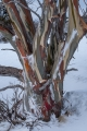Snow Gum colours