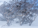Snow Gums in blizzard
