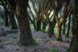 Grass tree forest, Barrington Tops National Park
