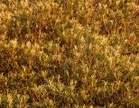 Mountain Banksia foliage