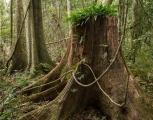 Old logging stump, Allyn River
