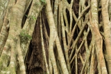 Strangler fig patterns