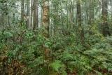 Coachwoods in mist, Mount Allyn Range