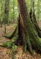 Rainforest stump, Mount Allyn Range