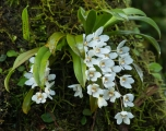 Orchid, Mount Allyn