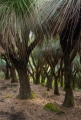 Grasstree forest, Barrington Tops National Park