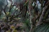 Grasstrees at dusk, Barrington Tops National Park