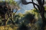 Grasstrees, Barrington Tops National Park
