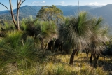 Grasstrees and Barrington Tops