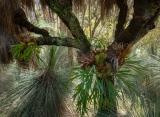 Grasstree with Elkhorns, Barrington Tops National Park