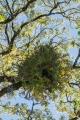 Staghorn on Red Cedar