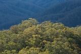 Eucalypt canopy, Boonabilla Creek valley