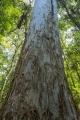 Sydney Blue Gum trunk, Paterson River