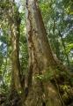 Sydney Blue Gum in rainforest