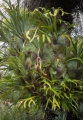 Elkhorn on grasstree, Barrington Tops National Park
