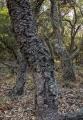 'Old man' banksias, Meroo National Park