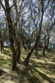 Coastal sheaok shrubland, Meroo National Park