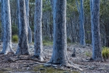 Spotted Gums, Meroo National Park
