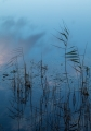 Willinga Creek reeds