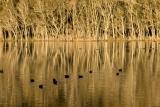 Coots, Willinga Creek