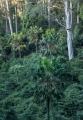 Cabbage Palms, Murramarang National Park