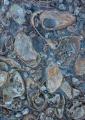 Mollusc fossils