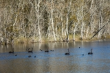 Black Swans and Coots, Willinga Creek, Meroo National Park