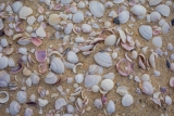 Pipis, Nadgee Nature Reserve