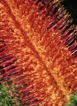 Heath-leaved Banksia flower
