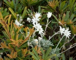 Banksia and flannel flowers