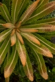 New growth, Wallum Banksia
