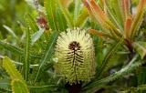 Wallum Banksia, Munmorah State Conservation Area